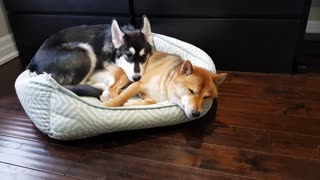 Precious compilation of doggy best friends and their cutest moments together