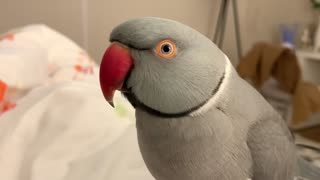 """Cute talking parrot says that he's a """"poopie"""""""