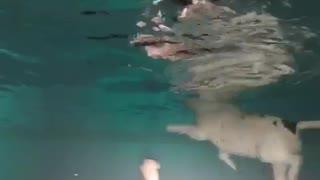 Underwater bulldog bellytickle