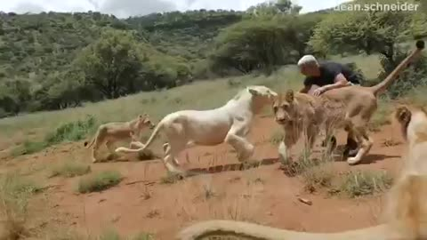How the lion welcomes his friend after being away for two weeks