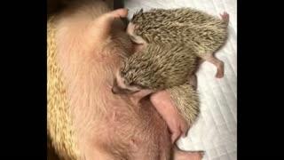 Little Hedgehog suckling the evening before bedtime