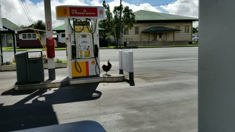 Real Chickens Show Up At Gas