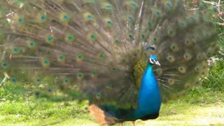 Awasome dance and sound by peacock