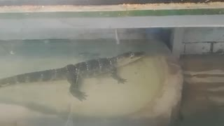 baby crocodile at local pet store