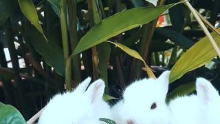 Three White Bunnies Eating Inside a Flower Pot