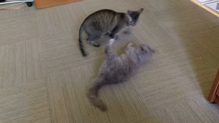 Fight Club - Two Cats Go Paw-To-Paw