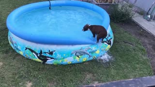 Dog can't decide if he wants to swim, balances on pool ledge instead