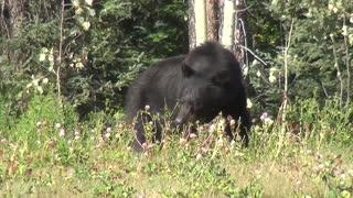 Adorable black Bear exploring the Nature