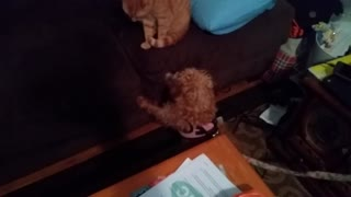 2 Jackapoo Dogs Meet a Cat For the First Time