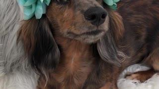 Wiener dog blue flower crown on white dog