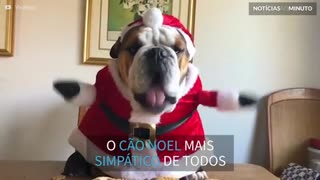 Conheça o 'Buldogue Noel' mais fofo do Natal