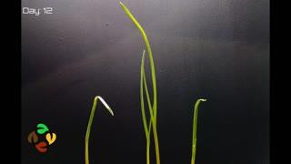 Growing Garlic time lapse video
