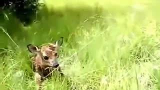 Adorable Baby Deer funny video /Baby Deer taking it's first steps