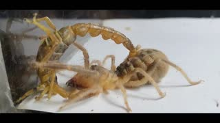 HOW TO BE IF THE GIANT CAMEL SPIDER FINDS SCORPION AND CHEAP?