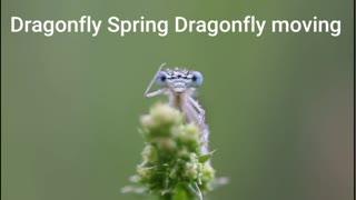 Dragonfly Spring Dragonfly