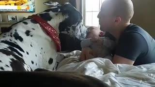 Gentle Great Dane introduced to newborn baby