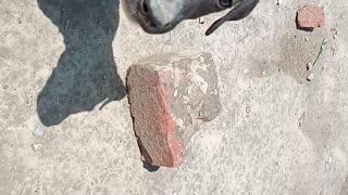 Italian Greyhound Italian Greyhound 🐕🐕🐕🐕🐕