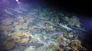 White tip sharks completely swarm reef for food