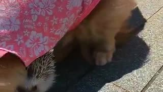 hedgehog plays with puppies on streets