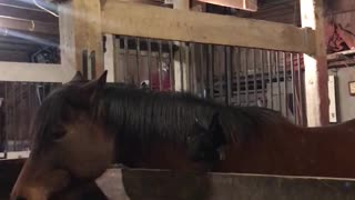 Rooster Rides the Wrong Horse