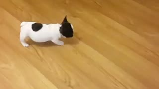 Tiny puppy stalks soccer ball before attacking it