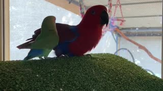 """Talking parrot woos little conure, repeatedly calls him a """"good boy"""""""
