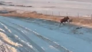 Moose Flips over Fence