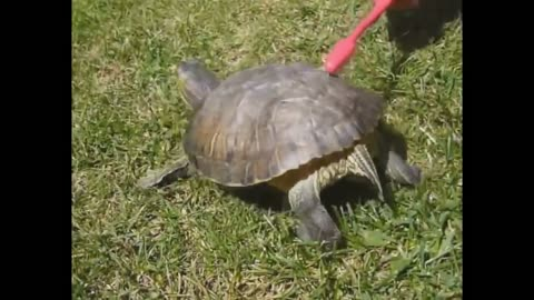 Tortoise Dancing with Toothbrush
