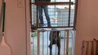 Dog Skillfully Jumps Over Both Baby Gates