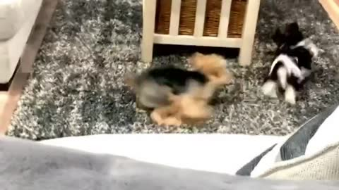 Yorkies chase each other into oblivion!