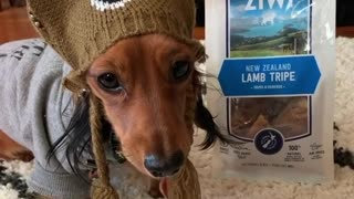 Cutest dog ever performs a trick for his favorite treat
