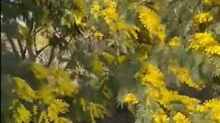 Мимоза в Абхазии