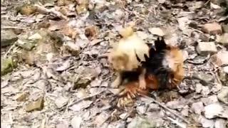 Chicken fight vs Dog