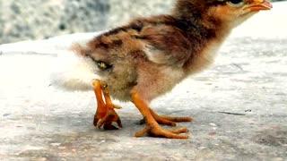 Video: Nace en Cuba un pollito con cuatro patas