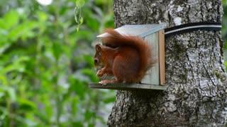 squirrel g