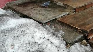 Walking city pigeon.