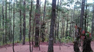 trees, pine trees, nature, woods