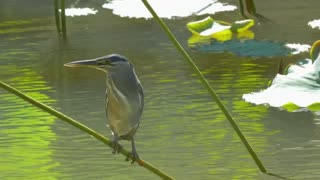 Bird standing on a pond plant - With great music