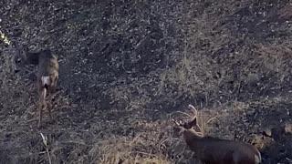 Buck Fever Keene