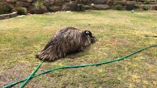 Emu Having Some Sprinkler Fun