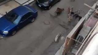 14 homeless dogs attacking another homeless dog