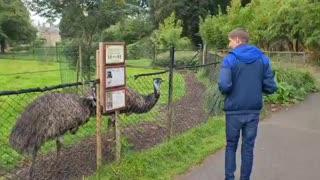 Ostriches birds