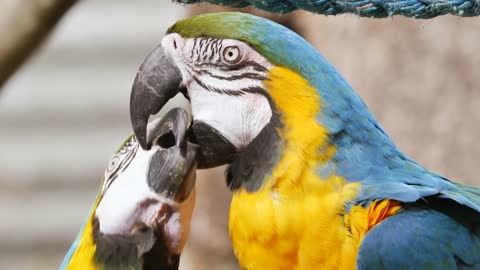 Two Lovely parrot kissed each other
