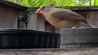 #Back Yard Birds Hawai'i Female Cardinal newcomer
