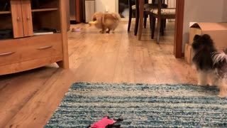 Adorable Pomeranian loves playing with his squeaky toy