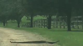 Diamondback Rattlesnake Crosses the Road