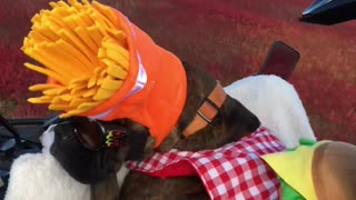 Boxer Dog Winston