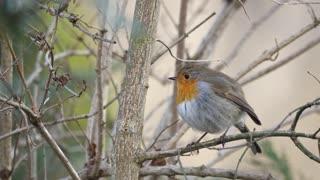 European Robin Beautiful