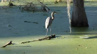 Great Blue Heron in Florida wetlands