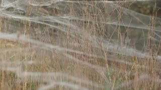 Spiders swarm to safety in south Australia